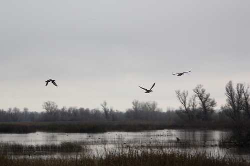 Geese Flying, by Flickr user superstrikertwo