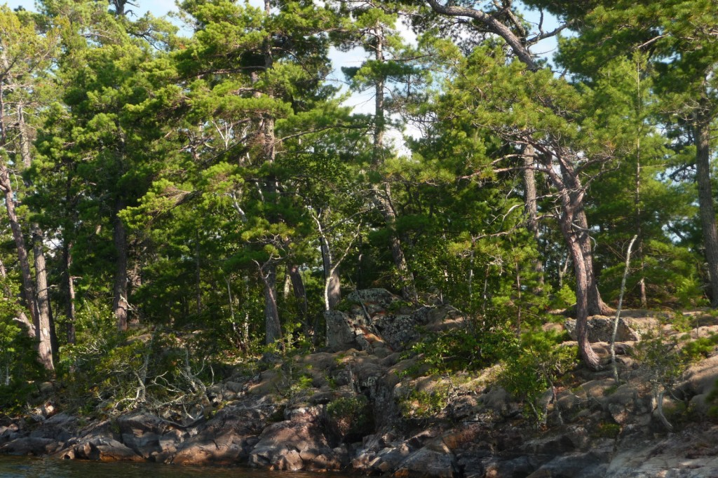 Pine and rock shoreline